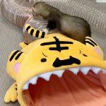 食べられちゃうハウス トラが新登場